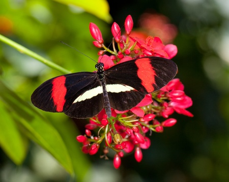 black, red, and white butterfly on a red flower