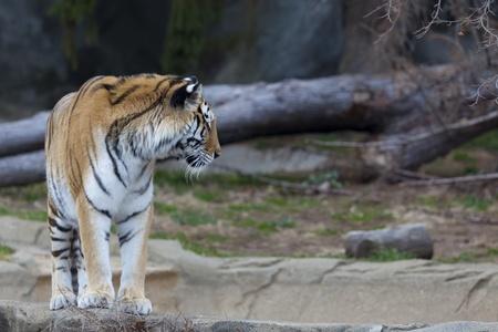 Photo of a Siberian Tiger Stock Photo - 13235892