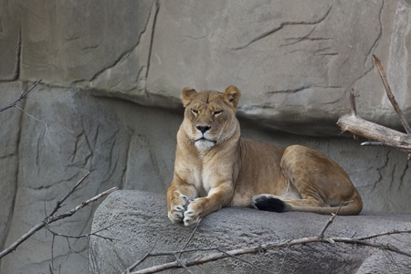 Photo of a female lion  Panthera leo  resting on a rock  Stock fotó