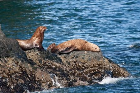 ZdjÄ™cie z kilku Stellar lwów morskich spoczywa na skalistym brzegu dźwiÄ™ku ksiÄ™cia Williama nadmorskiej dzielnicy Alasce Zdjęcie Seryjne - 13196290