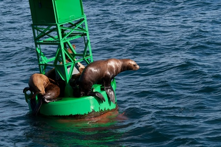A photo of several Stellar Sea Lions resting on a buoy in Prince William Sound off the coast of Alaska