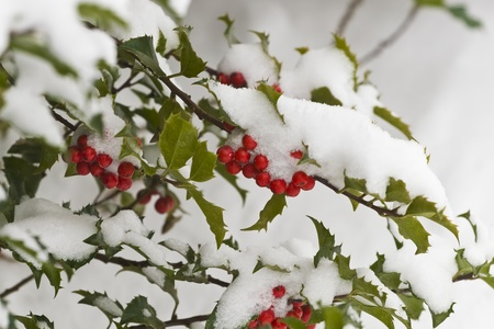 This is a close up image of a snow covered holly bush with red berries