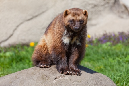 critters: Photo of a wolverine sitting on a rock  Stock Photo