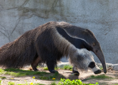 Photo of a giant anteater walking