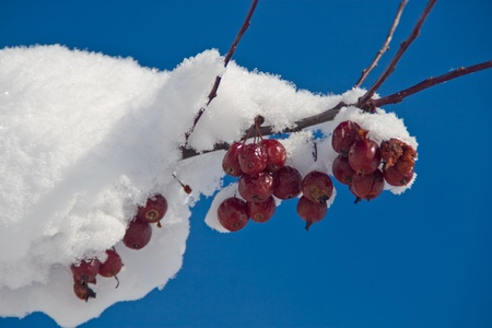 This photo shows some red berries on a tree branch covered with snow