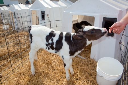 holstein cow: This is a picture of a Holstein Calf