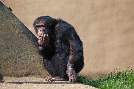 This is a photo of  a Chimpanzee sitting on a rock