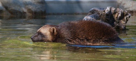 critter: This is a photo of a wolverine swimming in a pond.