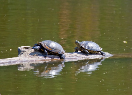 This  photo shows two turtles sunning themselves on a log.