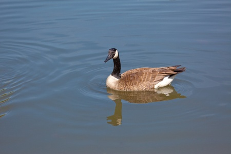 This is a photo of a Canada Goose (Branta canadensis) swimming in a pond.