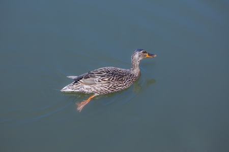 duck feet: This is a photo of a mallard duck (Anas platyrhynchos) swimming in a pond.