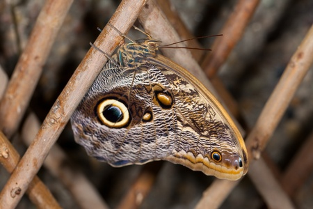 This is a photo of a Blue Morpho Butterfly (Morpho peleides) perched on a branch.