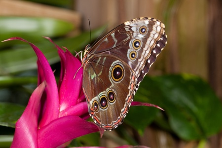 This is a  photo of a Blue Morpho Butterfly (Morpho peleides) perched on a red flower.