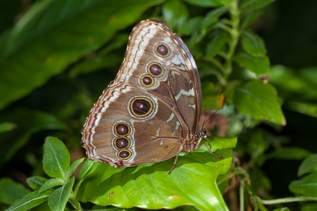 A photo of a Blue Morpho Butterfly (Morpho peleides) perched green leaf. Stock fotó