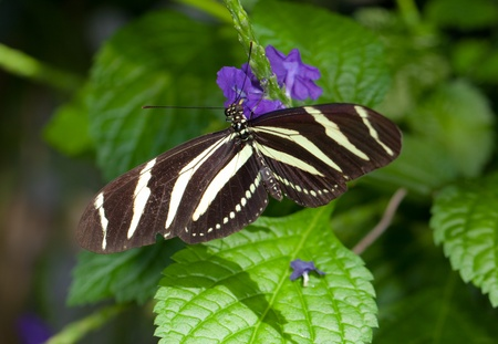 This is a photo of a Zebra Longwing Butterfly on a purple flower. Stock fotó