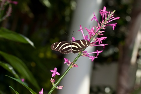 This is a photo of a Zebra Longwing Butterfly on a pink flower.