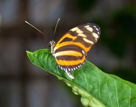 This is a photo of a Danalid Butterfly on a green leaf.