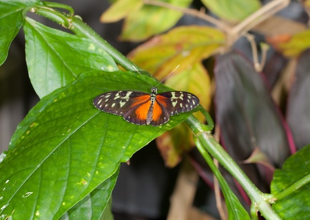 This is a photo of a Tiger Longwing Butterfly on a green leaf.
