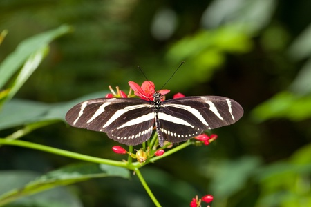 This is a photo of a Zebra Longwing Butterfly on a red flower. Stock fotó