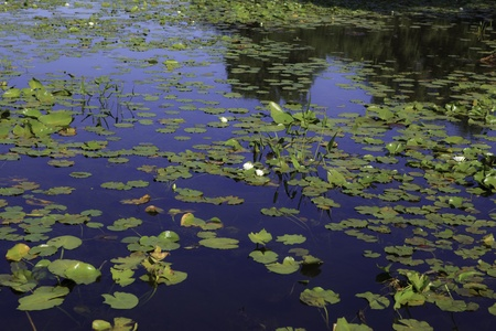 This photo shows a lake with lily pads growing.
