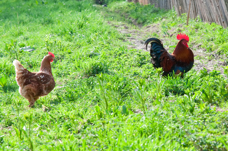 Hens and rooster in the meadow photo