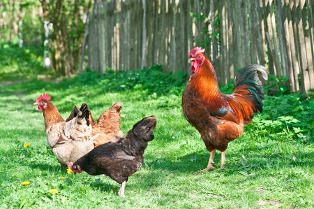 Hens and rooster in the meadow Reklamní fotografie