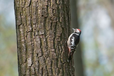 Woodpecker on a tree looking for food photo