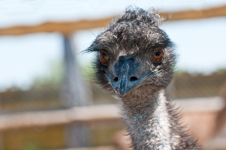 emu: Portrait of an Emu at a Zoo
