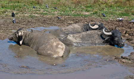 wallowing: Three buffalos relaxing in puddle Stock Photo