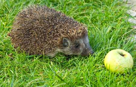 Hedgehog and apple on the grass