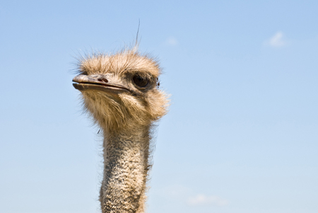 ostrich chick: Ostrichs face with a sky background