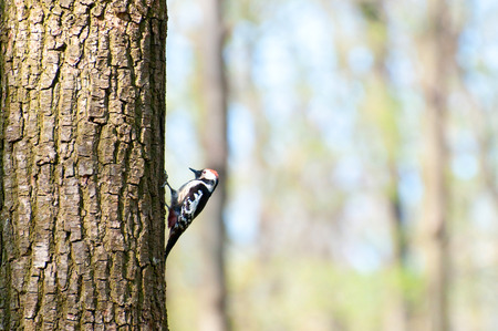 Woodpecker on a tree looking for food