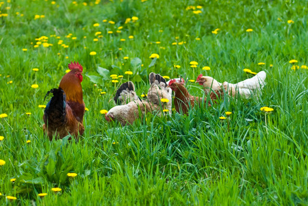 Hens and rooster in the meadow Stock Photo