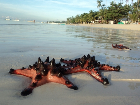 receded: Three red spiky starfish was left on the beach after the tide receded.