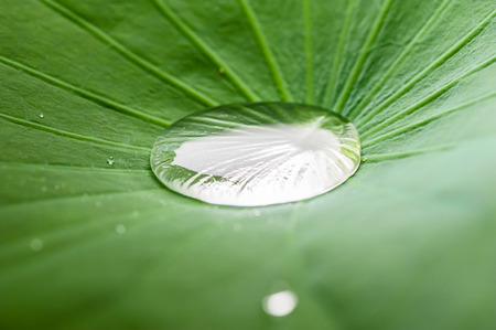 nenuphar: Closeup of Lotus Leaf with water drops.