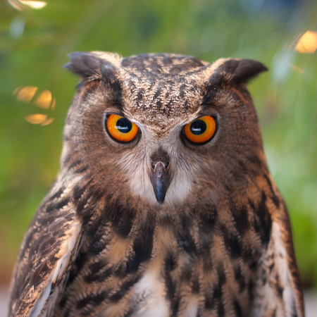 predatory: Eagle owl with orange eyes looking at the camera Stock Photo