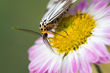 macrophotography: Macrophotography of a black and white moth on flowers