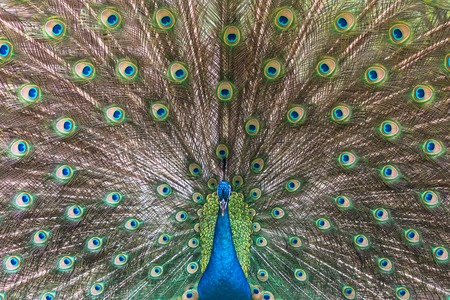 Peacock spreading his tail, Chengdu, China