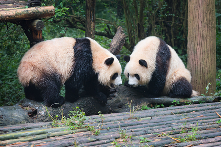 two giant pandas looking at each other, Chengdu, Sichuan Province, China