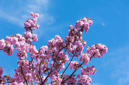 Flowering cherries in full bloom Stock Photo