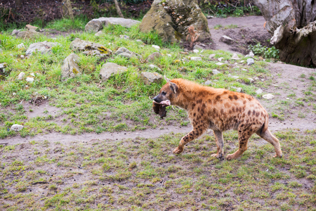 Hyena walking with a piece of meat in the mouth Stock Photo