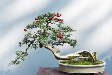 Curved bonsai tree with red fruits on a table against a white wall