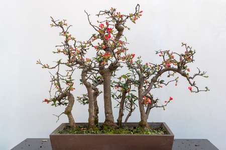 Chaenomeles bonsai tree on a wooden table against white wall Stockfoto