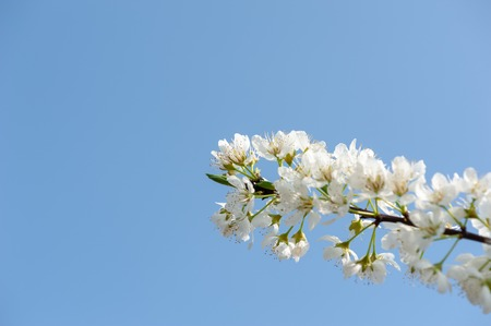 Pear blossom tree flowers against blue sky