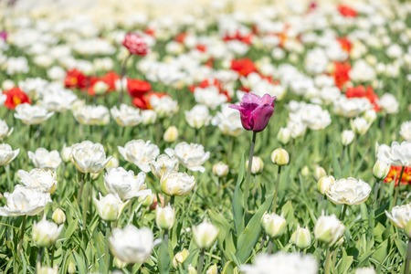 Colorful and white tulips flower bed in sunlight in the Netherlands Zdjęcie Seryjne