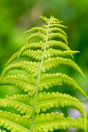 Fern leaves close-up view in the forest with focus on the foreground 版權商用圖片