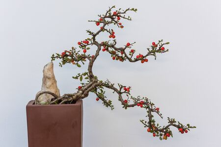 Twisted bonsai tree with red flower against white wall in China