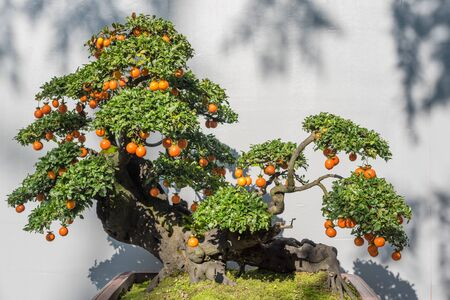 Bonsai tree with orange fruits against white wall in China Stock Photo