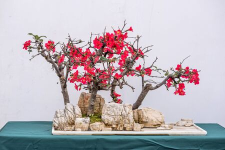 Bonsai tree on a rock with pink flowers against white wall in China