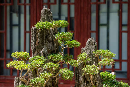 Bonsai trees on a rock against red chinese window in Chengdu, Sichuan province, China Stock Photo